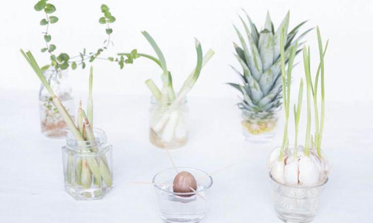 Re-Grow mit Frühlingszwiebeln und Co.