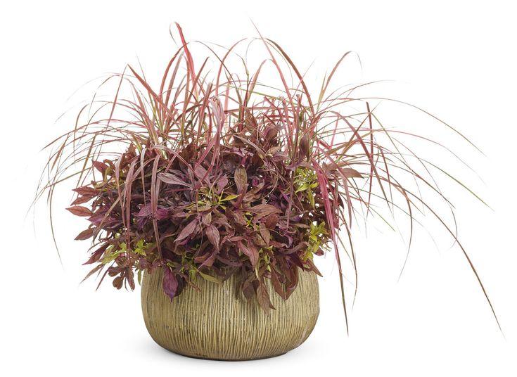 Graceful+Grasses®+'Fireworks'+-+Variegated+Red+Fountain+Grass+-+Pennisetum+setaceum+'Rubrum'