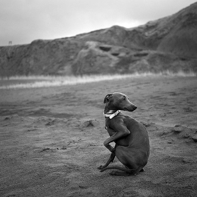 Gorgeous Italian Greyhound on the beach. by karramarro, via Flickr