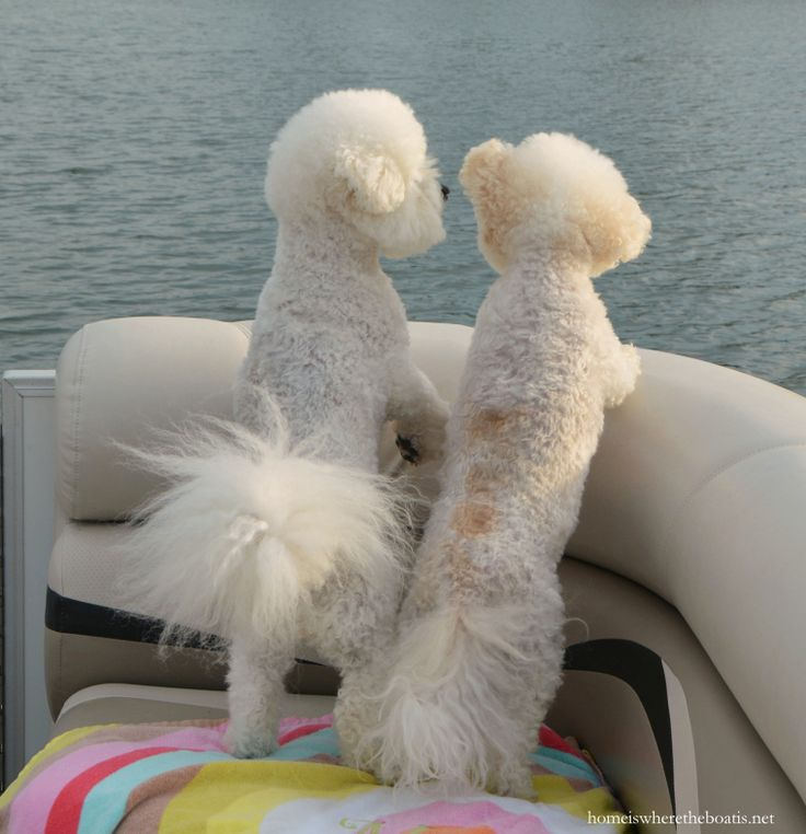 Chloe and Gracie on pontoon boat | homeiswheretheboatis.net #NationalLoveYourPetDay #LakeNorman