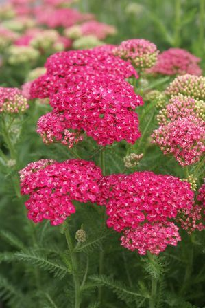 Achillea millefolium (Yarrow) Saucy Seduction 2012 intro.. Bright purple for yarrow, impressed A native Colorado plant