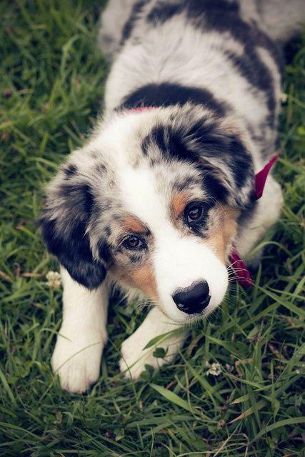 lolcuteanimals:  Australian Shepherd PuppyPuppy eyes by Seyh' on Flickr
