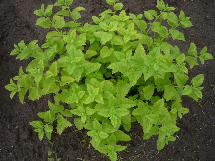 A citromfű nagyon érdekes jószág, ha nincs rá szükségünk, elburjánzik a kertben, akár kéretlenül is, azonban a termesztése rendkívül nehéz. Ha már elborított a kertet citromfű, akkor se szomorkodjunk. Tartsuk kordában, és használjuk fel a háztartásban. http://kertlap.hu/citromfu-a-kertedbol-a-haztartasodba/