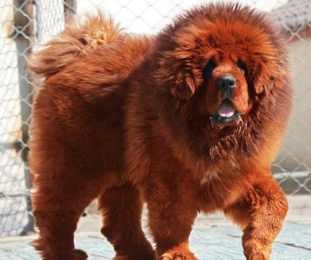 Relativ Les 25 meilleures idées de la catégorie Mastiff du tibet rouge sur  WB55