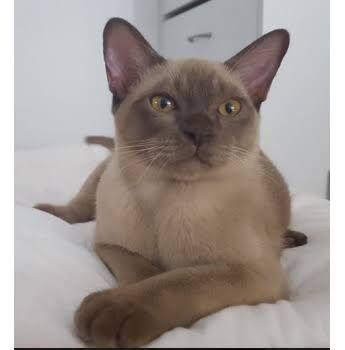Image result for burmese kittens