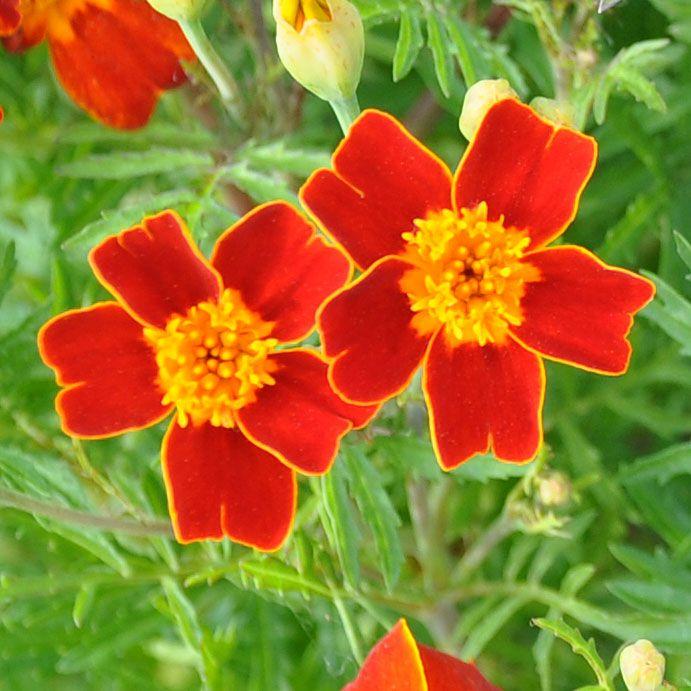 Liten Tagetes 'Red Gem' i gruppen Fröer / Krydd- och Medicinalväxter / Kryddväxt hos Impecta Fröhandel (8782)