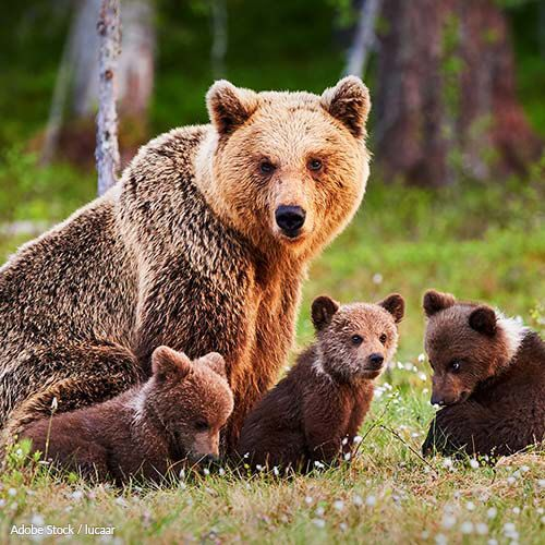 BREAKING: Senate Vote Sanctions The Killing Of Wolf Pups And Bear Cubs In Their Dens