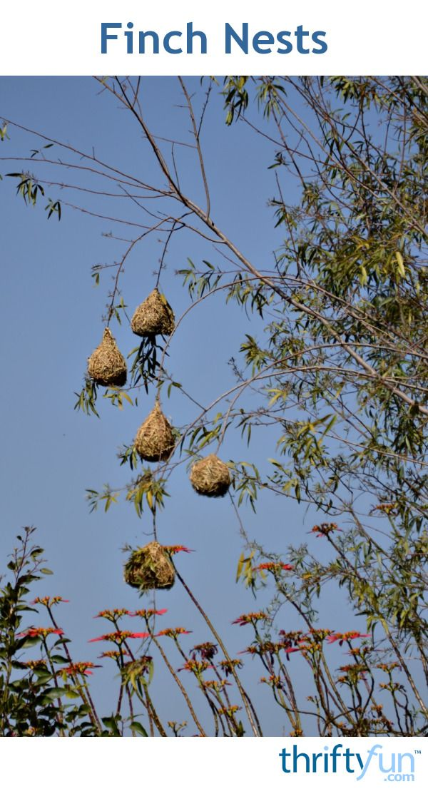 A collection of finch nests. Love this!
