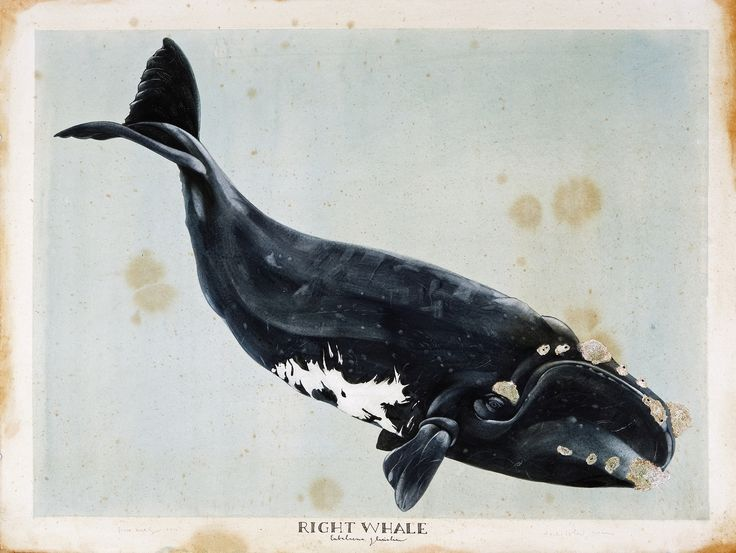 """via scottkelleystudio:    Right Whale, 2012. Watercolor and gouache on paper, 30"""" x 40"""""""
