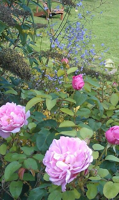 Rosenflor uden vase