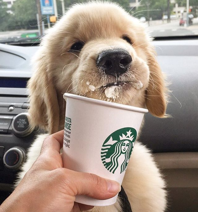 'Puppy Latte, shaken not stirred. Make it a double please' - Cute Little Mucky Pup enjoying a 'Puppy Latte'
