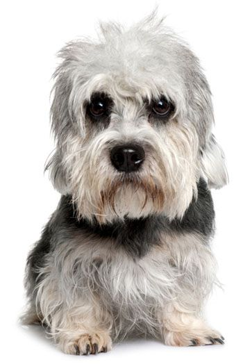 Dandie Dinmont Terrier~I'm not familiar with this particular breed of Dog, but he sure is a handsome fella <3