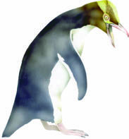 Seabird hoiho/yellow-eyed penguin. In CLOAK OF PROTECTION is eaten by ferret, adzebill, cat, and stoat