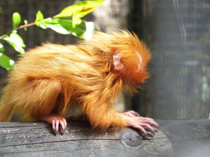 jeune singe..