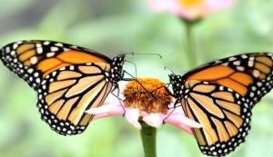"""Article in """"Science Daily"""" on monarch butterflies."""