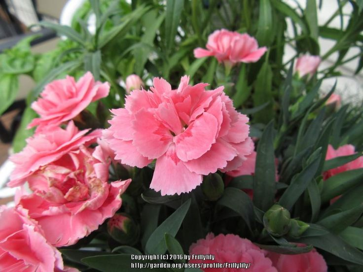 Carnation (Dianthus caryophyllus Oscar™ Clavel Pink) in the ...