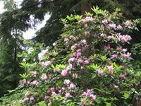 How and When to Prune an Overgrown Rhododendron Plant
