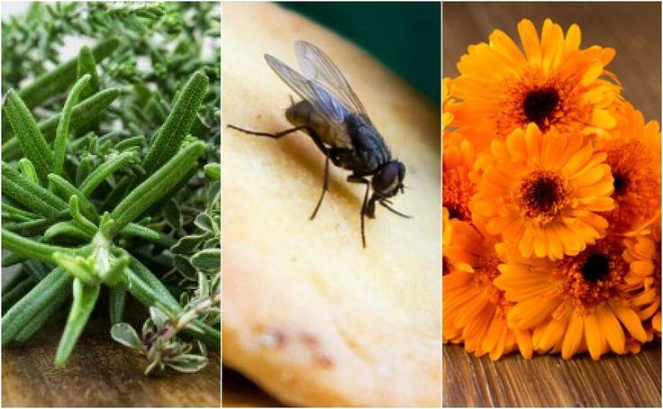Las moscas son desagradables y pueden portar infecciones. Descubre 6 remedios caseros para repelerlas de forma natural. ¡No dejes de probarlos!