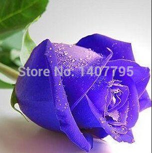 100 штук фиолетовый роза цветок семена сад бонсай экзотический растение
