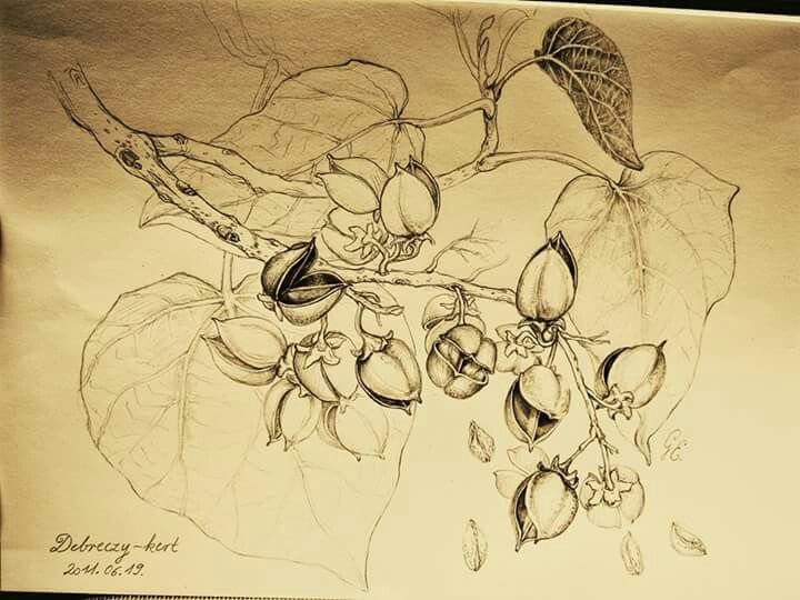 Botanical art drawing császárfa by Gábor Emese