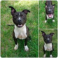 Pictures of Chance a American Pit Bull Terrier Mix for adoption in Bishopville, SC who needs a loving home. #RescueDog