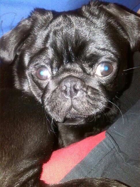 Our pug / onze mopshond