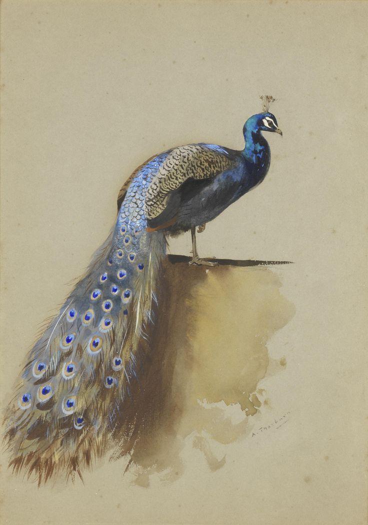 Archibald_Thorburn_Peacock.jpg 1,647×2,349 pixels