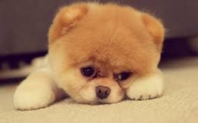 Pomsky. Cutest dog ever!!!