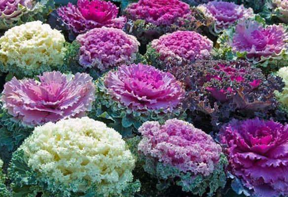 Декоративная капуста - сорта, семена, выращивание.