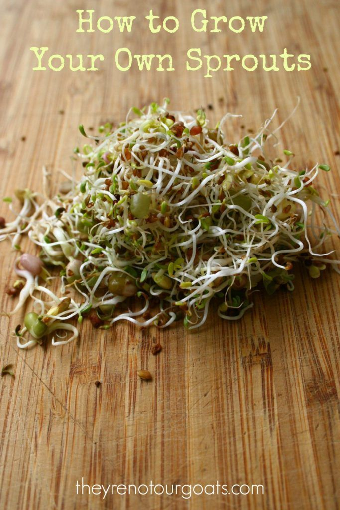 How to grow your own sprouts: A frugal and easy vegetable that you can grow indoors any time of year!