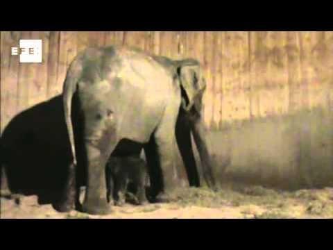 Nace un elefante asiático en el Zoo de Madrid