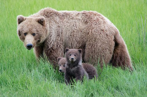 Mother grizzly bear looks intently at what has scared her cubs.