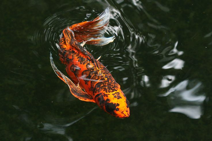 17 best images about o c e a n i c on pinterest for Koi fish habitat