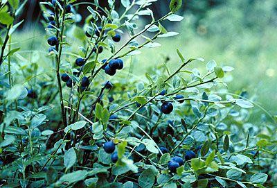 Mustikka (Blueberry)