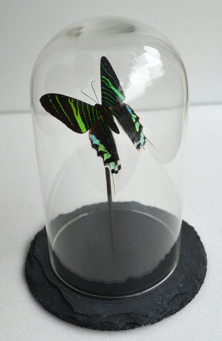 Papillon Urania leilus d'Amazonie sous cloche en verre