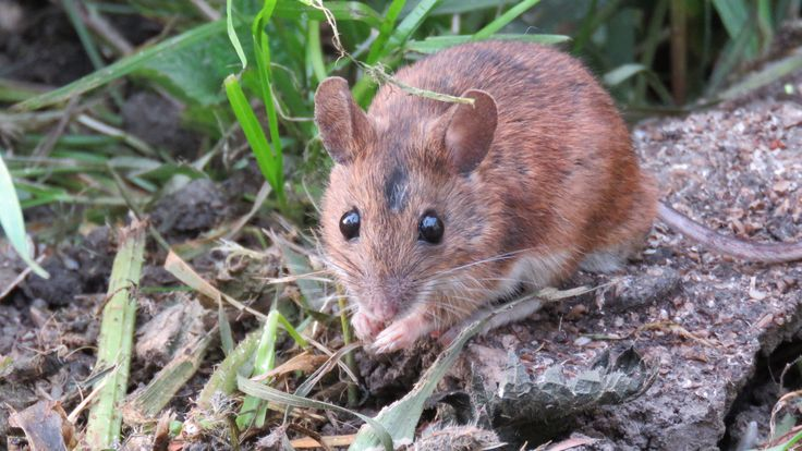 Mouse in my garden