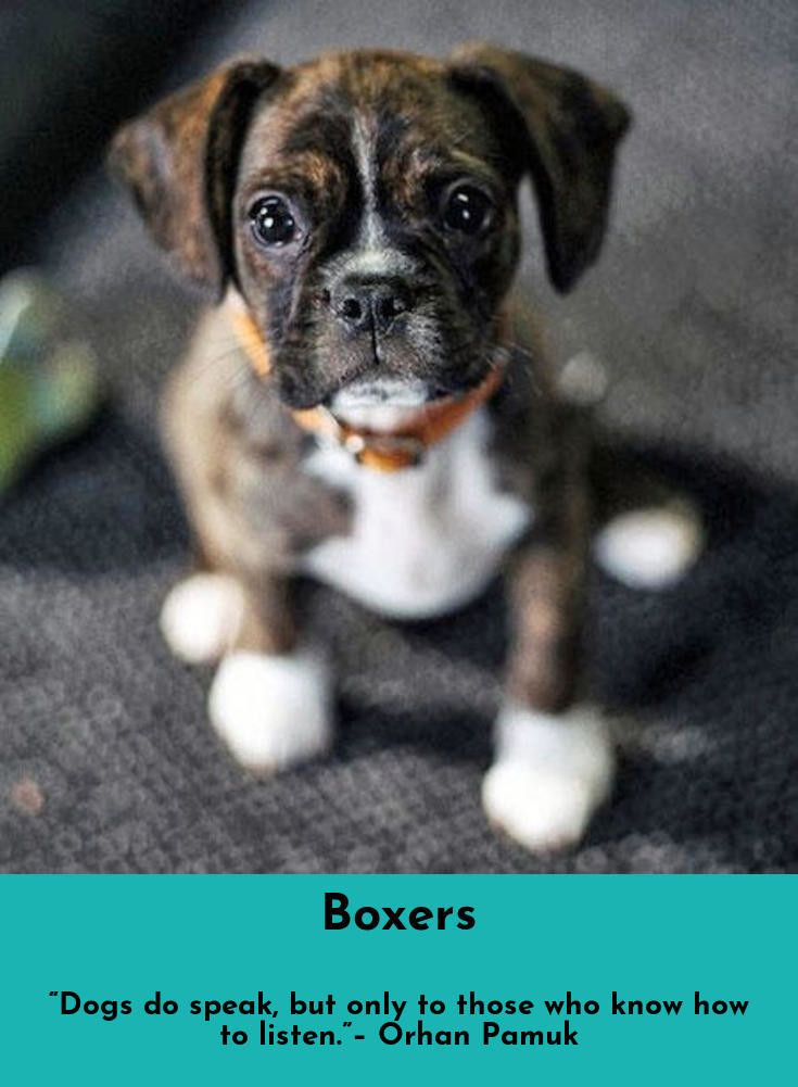 Learn About Boxers Simply Click Here For More Information