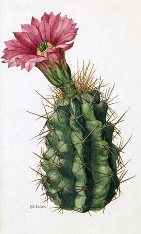 Cactus. Mary E Eaton