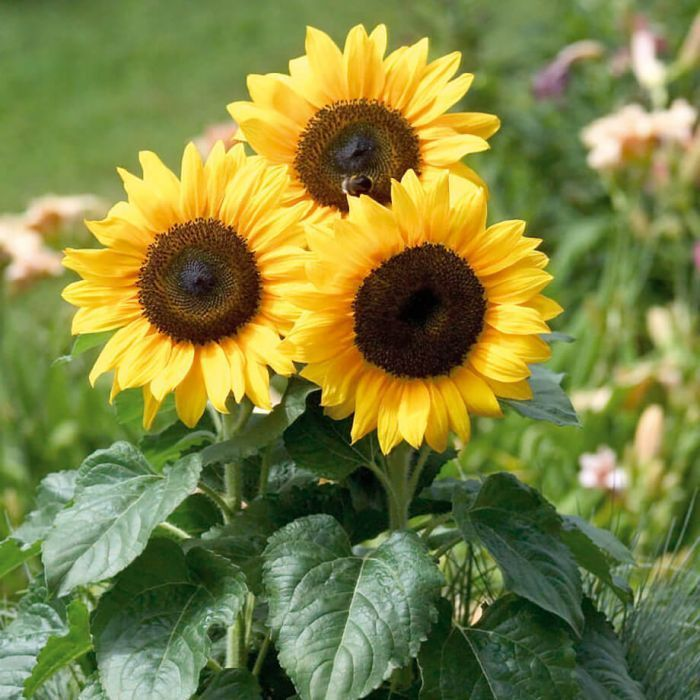 Sunflower Veseysseeds Veseys Flower Garden Gardening Pei Seeds Flowerseeds Newfor2019 Bert In 2020 Beautiful Flowers Flower Seeds Bonsai Flower