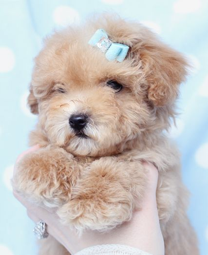 Toy Size Dogs : Toy poodle puppy from teacupspuppies poodles