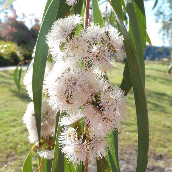 Delicate pastel Eucalyptus pauciflora