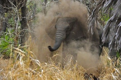 Elephant dust shower at Gorongosa National Park, Mozambique. Photo by Adolfo Macadona.
