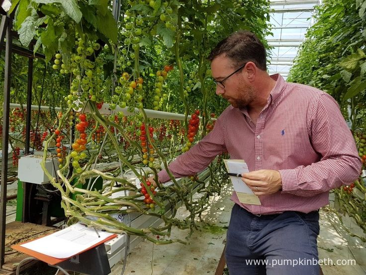 Paul Faulkner from Eric Wall Ltd, is pictured showing the National Vegetable Society members Eric Wall Ltd's growing crop of cordon…