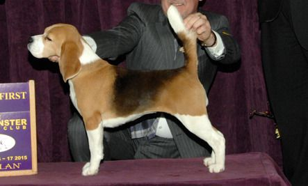 Miss P the Beagle Wins the Westminster Dog Show 2015