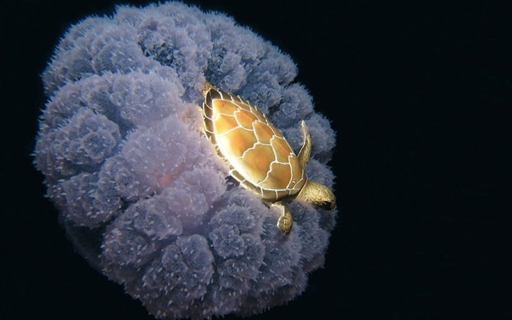A Jellyfish Taxi for a Loving Turtle