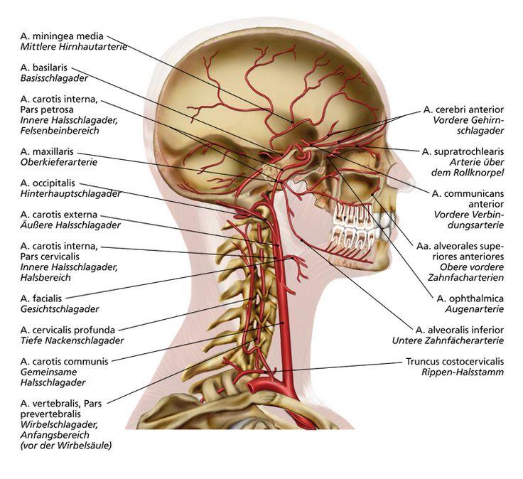 Berühmt Arteria Carotis Anatomie Segmente Galerie - Menschliche ...