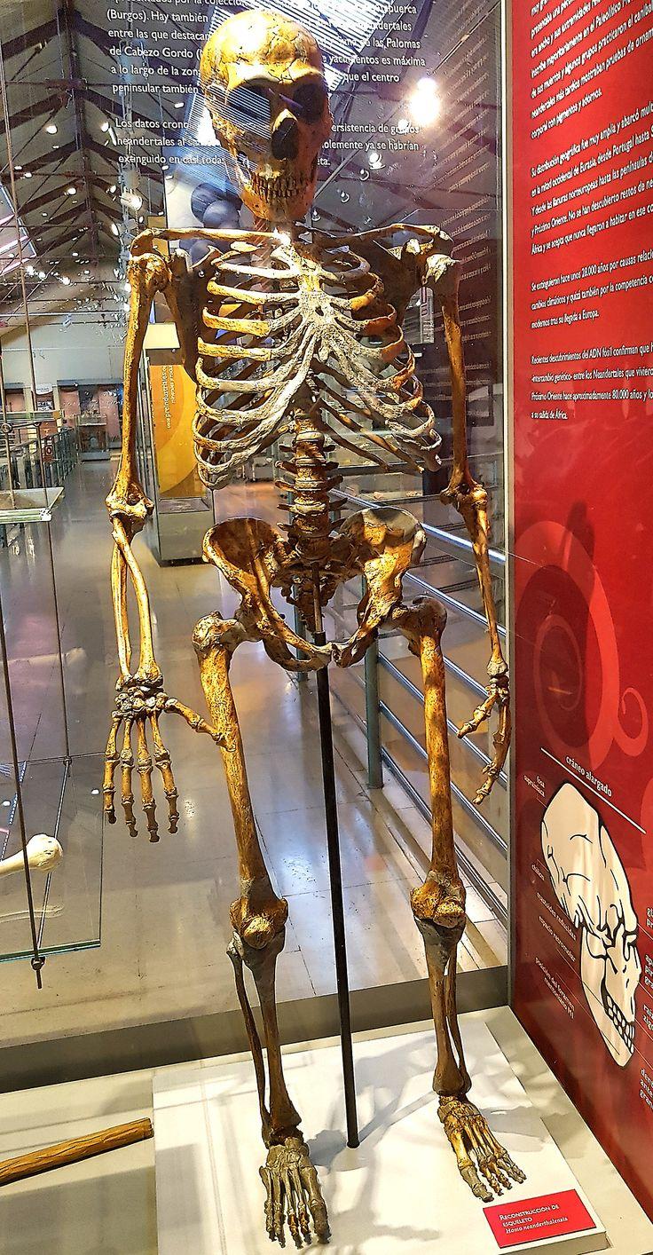 Homo neanderthalensis. Museo Nacional de Ciencias Naturales. Madrid