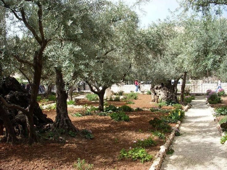The Garden of Gethsemane - I would love to one day sit in this garden and - LISTEN for awhile............Jesus Praying, Jesus Walks, Gardens, Holy Land, Olive, Jesus Foot, Israel Trips, Gethsemane, Trips Pictures