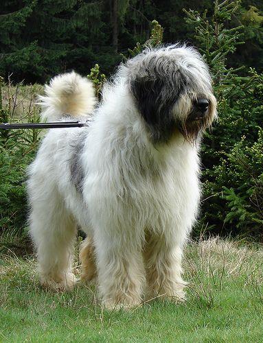 Mioritic Romanian Sheepdog