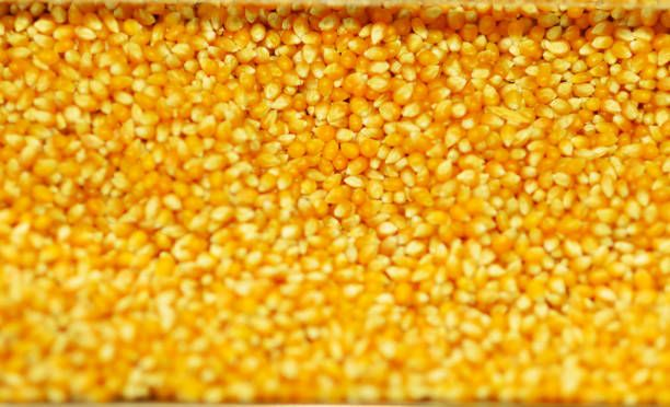 close up of corn grains whole background